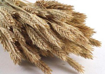 allergia al grano