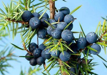 Il ginepro: Juniperus communis